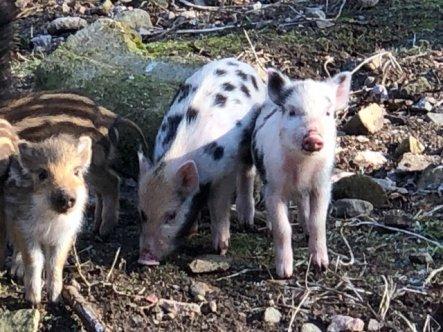 Skånes djurpark grisar